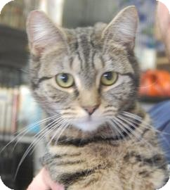 Domestic Shorthair Kitten for adoption in Brooklyn, New York - Dolores