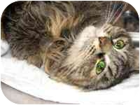 Maine Coon Cat for adoption in tucson, Arizona - Easterly