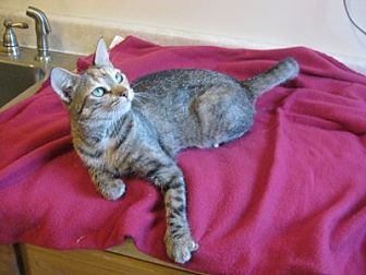 Domestic Shorthair Cat for adoption in Bloomsburg, Pennsylvania - Aletta