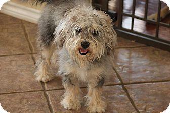 Miniature Schnauzer/Poodle (Miniature) Mix Dog for adoption in Flower Mound, Texas - Popcorn