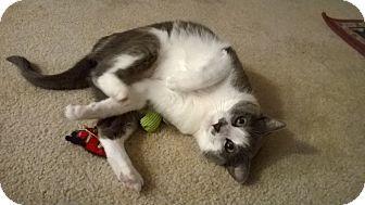 Domestic Shorthair Cat for adoption in St Paul, Minnesota - Rushmore