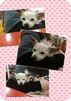 Chihuahua Dog for adoption in Maryville, Illinois - Sharon