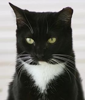 Domestic Shorthair Cat for adoption in North Fort Myers, Florida - Boots