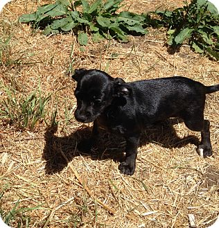 Chihuahua/Terrier (Unknown Type, Small) Mix Puppy for adoption in Lacey, Washington - Porsha