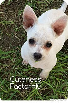 Chihuahua Puppy for adoption in Phoenix, Arizona - LOLA