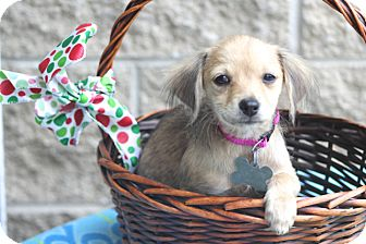 Terrier (Unknown Type, Small)/Chihuahua Mix Dog for adoption in Norwalk, Connecticut - Swindon