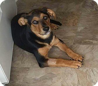 Rottweiler/Staffordshire Bull Terrier Mix Puppy for adoption in Goldsboro, North Carolina - Jada