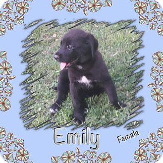 Labrador Retriever Mix Puppy for adoption in East Hartford, Connecticut - Emil-pending adoption