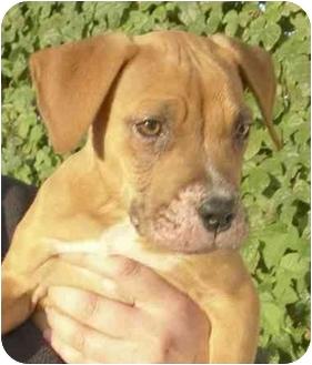 Boxer/Labrador Retriever Mix Puppy for adoption in El Segundo, California - Shayleen