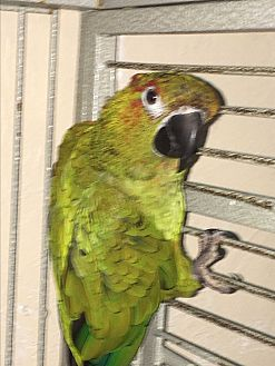 Conure for adoption in Punta Gorda, Florida - Patches