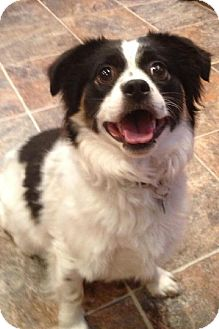 Shih Tzu Mix Dog for adoption in Texarkana, Texas - Bandit