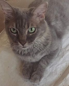 Domestic Mediumhair Cat for adoption in Scottsdale, Arizona - Mama Kitty
