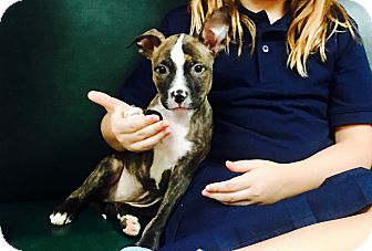 American Bulldog/Terrier (Unknown Type, Medium) Mix Puppy for adoption in Miami, Florida - Evee