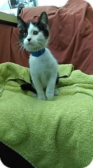 Domestic Shorthair Kitten for adoption in University Park, Illinois - Wanda