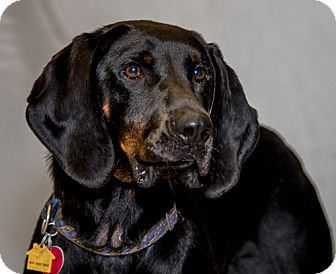 Black and Tan Coonhound Dog for adoption in Martinsville, Indiana - Buck