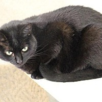 Domestic Shorthair Cat for adoption in Fremont, Ohio - Shell