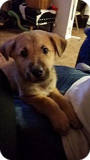German Shepherd Dog/St. Bernard Mix Puppy for adoption in HESPERIA, California - Blitz