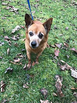 Chihuahua/Terrier (Unknown Type, Small) Mix Dog for adoption in Ona, West Virginia - Brandy