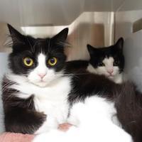 Domestic Mediumhair/Domestic Shorthair Mix Cat for adoption in Santa Barbara, California - Jinx