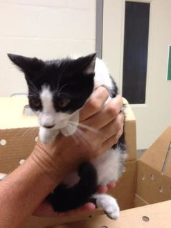 Domestic Shorthair/Domestic Shorthair Mix Cat for adoption in New Port Richey, Florida - Jeremy