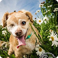 Poodle (Miniature)/Lhasa Apso Mix Dog for adoption in Newport, Kentucky - Scotch