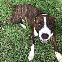 Pit Bull Terrier Mix Dog for adoption in Houston, Texas - Eli