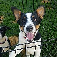 Adopt A Pet :: Maverick - Ogden, UT