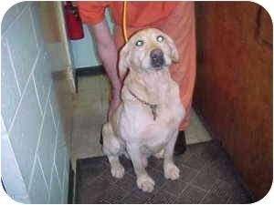 Labrador Retriever Mix Dog for adoption in Gladwin, Michigan - Kayden