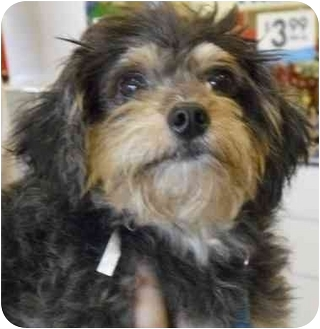 Yorkie, Yorkshire Terrier Mix Dog for adoption in Humble, Texas - Squirrel