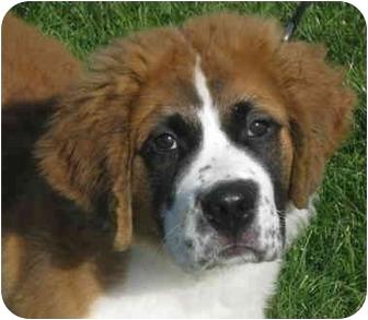 St. Bernard Puppy for adoption in Milford, New Jersey - Nikki