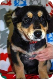 German Shepherd Dog/Shepherd (Unknown Type) Mix Puppy for adoption in Broomfield, Colorado - Fudge
