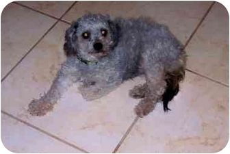 Poodle (Toy or Tea Cup) Mix Dog for adoption in West Los Angeles, California - Skyler