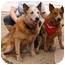Photo 4 - Australian Cattle Dog Mix Dog for adoption in Phoenix, Arizona - Tracey **ADOPTION PENDING**