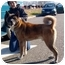 Photo 2 - Akita Dog for adoption in East Amherst, New York - Easy