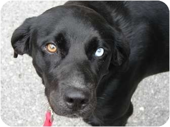 Labrador Retriever/Border Collie Mix Dog for adoption in Windham, New Hampshire - Lady