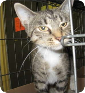 Domestic Shorthair Cat for adoption in Stillwater, Oklahoma - Spice
