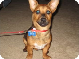 Dachshund/Terrier (Unknown Type, Small) Mix Puppy for adoption in Commerce City, Colorado - Oliver