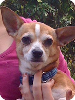 Chihuahua Dog for adoption in geneva, Florida - Marcus