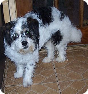 Shih Tzu/Poodle (Miniature) Mix Dog for adoption in Denver, Indiana - Murphy
