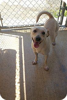Labrador Retriever Mix Dog for adoption in San Antonio, Texas - Manny