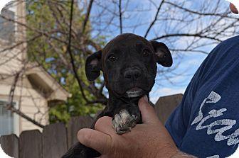 Boxer/Labrador Retriever Mix Puppy for adoption in Westminster, Colorado - Porter