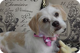 Terrier (Unknown Type, Small)/Shih Tzu Mix Dog for adoption in Fort Worth, Texas - GG LOVE