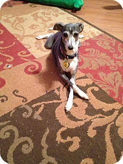 Italian Greyhound Dog for adoption in Argyle, Texas - Moonpie in Oklahoma