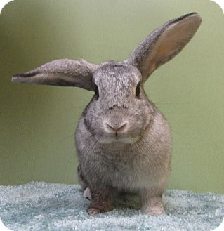Chinchilla, American Mix for adoption in Benbrook, Texas - Lucy