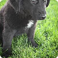 Adopt A Pet :: Cadence - Broomfield, CO
