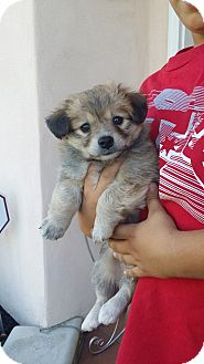 Yorkie, Yorkshire Terrier/Maltese Mix Puppy for adoption in Rancho Cucamonga, California - Fluffy