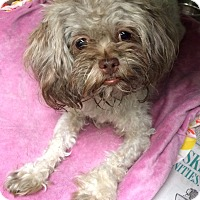 Adopt A Pet :: Phoebe - New York, NY
