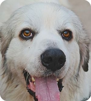 Great Pyrenees Dog for adoption in Tulsa, Oklahoma - John Coffey *Adopted