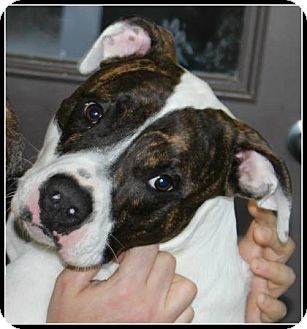Boxer/American Staffordshire Terrier Mix Dog for adoption in Lasalle, Illinois - Charlie Boy