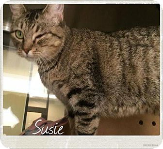 Domestic Shorthair Cat for adoption in Lewisville, Texas - Susie